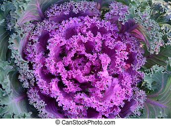 Floral closeup, decorative cabbage