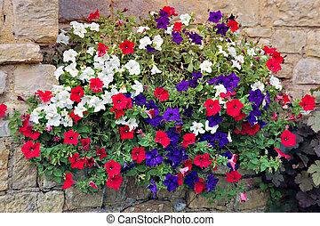Floral display of multicoloured Petunias