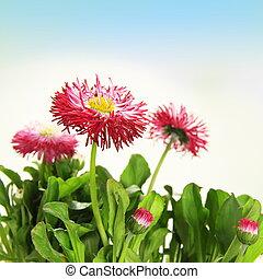 floral, flor, borda, margarida