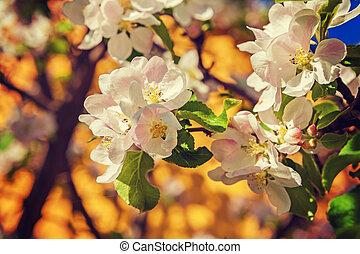 floral, fundo, florescer, flores, de, macieira, instagram, sti