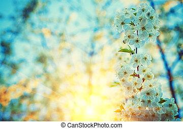 floral, fundo, ramo, de, florescer, árvore cereja, ligado, amanhecer, em