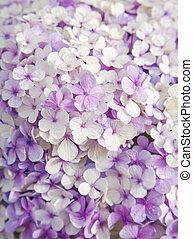 floral, hortensia, fond, francais