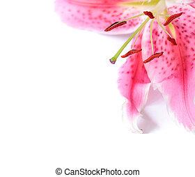 floral, lirio, plantilla