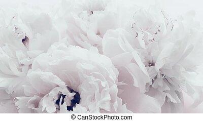 floral, mariage, fond, fleurs, fleur, pastel, pivoine, blanc...