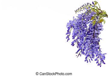 floral, wisteria, fleurs, conception, element.