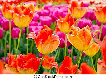 floreale, tulips, fondo