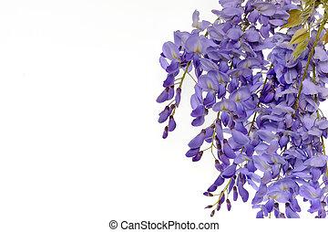 floreale, wisteria, fiori, disegno, element.