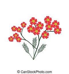 florecer, achillea, milenrama, millefolium, flores, o, rojo