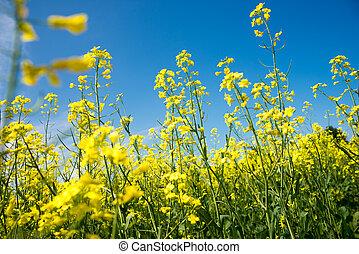 florecer, amarillo, rapeseed, campo, debajo, cielo azul, en, collingwood, ontario