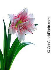 florecer, amaryllis
