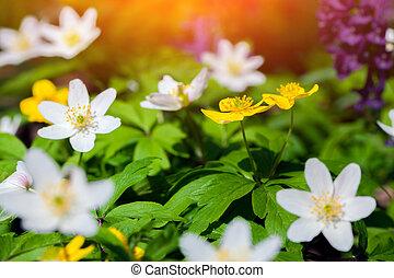 florecer, anémona, flores, en, el, bosque