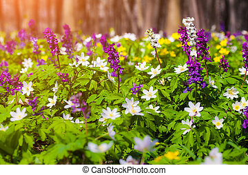 florecer, anémona, flores, en, el, forest.