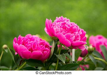 florecer, arbusto, rosa, peonía