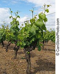 florecer, después, francia, viña, layon, blanco, chenin