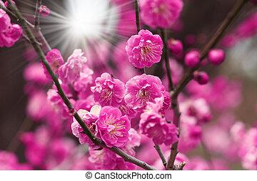 florecer, flor de cerezo, con, sunrays