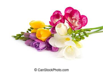 florecer, freesia.