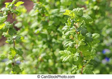 florecer, grosella, arbusto
