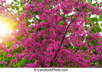 florecer, japonés, cerezo, o, sakura, en, el, spring.
