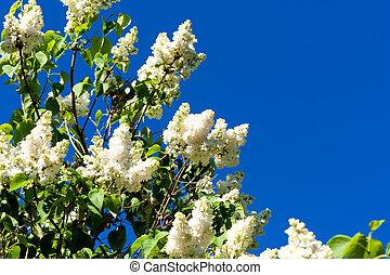 florecer, lila, en, primavera