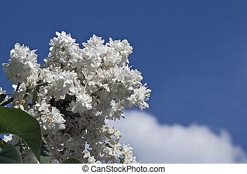 florecer, lila