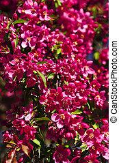 florecer, manzano, en, primavera, parque