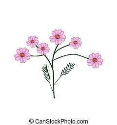 florecer, púrpura, achillea, milenrama, millefolium, flores,...