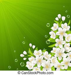 florecer, rama, de, cereza