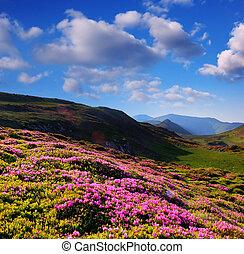 florecer, rododendro, en las montañas