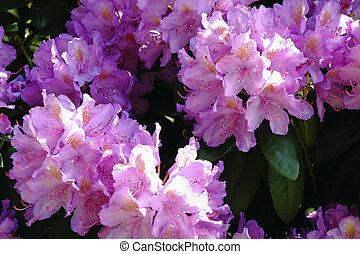 florecer, rododendro