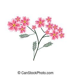 florecer, viejo, rosa, achillea, milenrama, millefolium,...