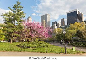 florecimiento, árboles, en, parque central, ny