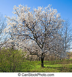 florecimiento, albaricoque, árbol.