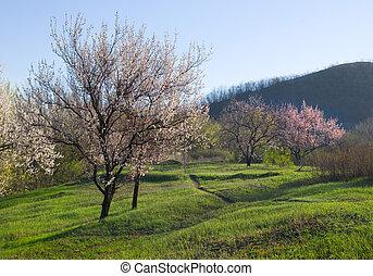 florecimiento, albaricoque, árboles.