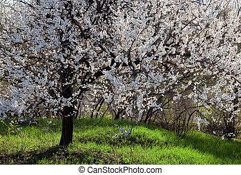 florecimiento, arbol albaricoque
