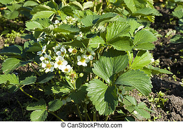 florecimiento, arbustos, de, fresas