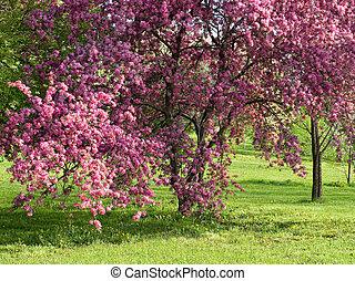 florecimiento, ciruela, árbol.