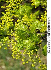 florecimiento, de, árbol del arce, 05