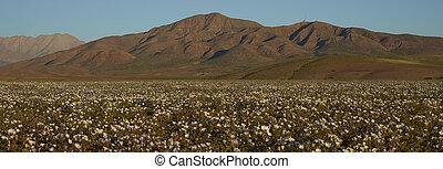 florecimiento, desierto