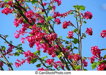 florecimiento, grosella, 07