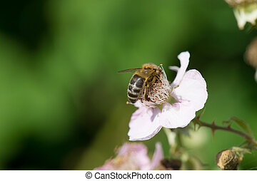 flores, abelha, amoras