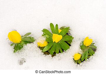 flores, aconite, inverno, amarela, neve