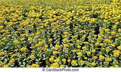 flores amarillas, campo, plano de fondo