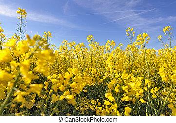 flores amarillas, de, violación