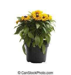 flores amarillas, en, un, olla