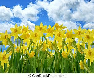 flores, amarillo, narciso