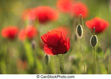 flores, anémona roja