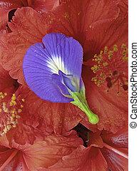flores, arreglado, y, hibisco, linn, ternatea, rosa-sinensis...