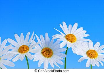 flores azuis, fundo, margarida