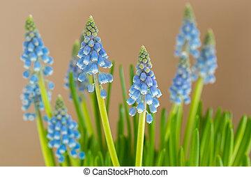 flores azules, de, jacinto de la uva, crecer, con, confuso, fondo amarillo