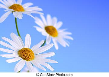 flores azules, plano de fondo, margarita